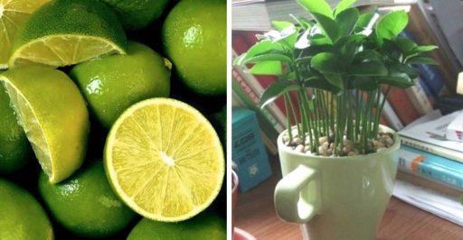 como plantar limón en una taza